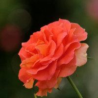 秋薔薇(Ⅱ鶴舞公園)