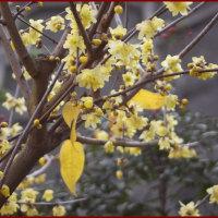 庭の花(ロウバイ)