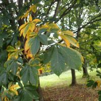 長野の紅葉黄葉:トチノキの黄葉が始まっていました。