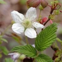 4月の花 クサイチゴ