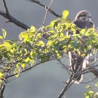 長野県佐久市の佐久荒船高原では、快晴になった早朝に猛禽類を見かけました