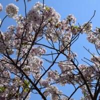 四季折々790  陵南公園の桜