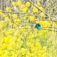 23/Mar 朝の枝垂れ柳と菜の花とカワセミとカルガモと神社の桜