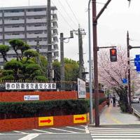 健軍自衛隊通りの桜満開  花図鑑47