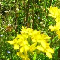 里の春 ミツバチ ぶんぶん 菜の花畑 (菜人)