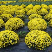 ざる菊の黄色が鮮やかに咲いていた