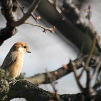 梅林の小鳥たち