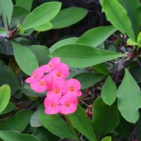 ピンク色のハナキリン