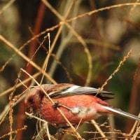 野焼きの後の野鳥