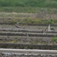 田んぼでは、ムナグロが十数羽飛んで来た。