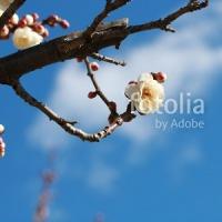 採用作品「青空と早春の梅の花」