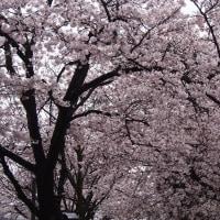 さくら、サクラ、桜