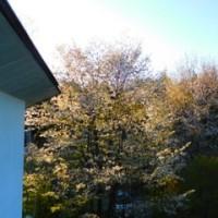 小屋のメインの桜が満開に!