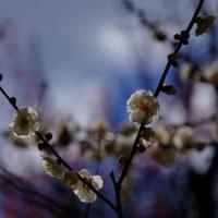 京都府立植物園(梅やら野鳥やら)