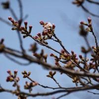 今日の夙川の桜は