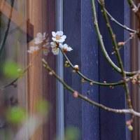 梅は咲い~たか。桜は、お客さん情報満開の午後の森。