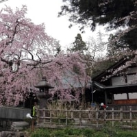 桜堂薬師の枝垂桜