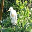 今日の野鳥 アマサギ ・ タマシギ。