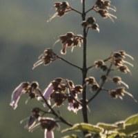 終焉期の 桐の花