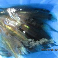 1月8日の釣果の写真