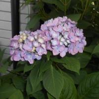 アジサイの花の色・・・疑問解決