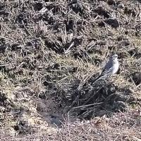 枯れた田んぼで餌をあさるセキレイ/散歩にて 20170118
