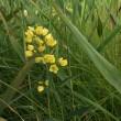 阿蘇くじゅうの湿原の花 16,17日