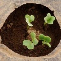 トンネル栽培の春ダイコンが発芽