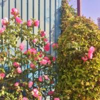 会社の花壇のバラ。