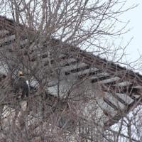小樽 銀鱗荘下のオオワシ 2017
