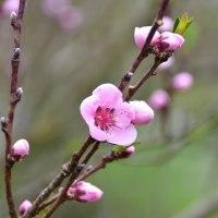 ペルシャの桃
