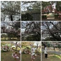 2017-03-30幸町公園。今日は暖かかったので桜を見に行ってきました。