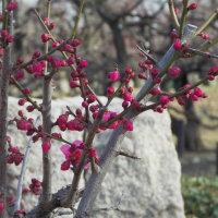 大阪城公園 梅林の早咲きの梅 他 3 (大阪市)