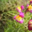 花のリレー リナリア