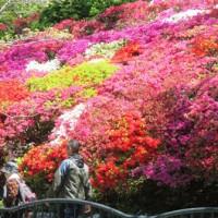 つつじが満開の花の木公園