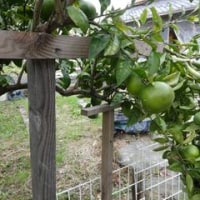 今年は柑橘類が大豊作!