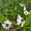 小暑(7月7日)に咲く花