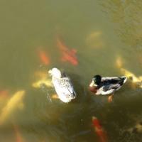 カルガモと鯉の共生