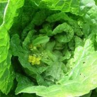 野菜畑のこと15
