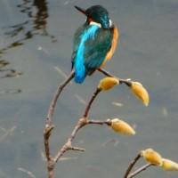 『春の小川』 蕾