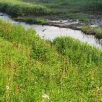 小出川のコガモ