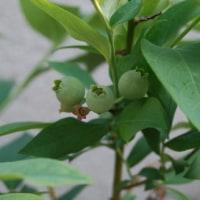 温州ミカン・レモン・ブルーベリー・ユズの赤ちゃん誕生 不知火(デコポン)発芽 庭の果樹