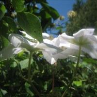 立秋を過ぎて、空高く咲くマダムバンホーテ!