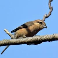 里山の野鳥
