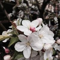 小さくても桜