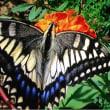雉とアゲハ蝶