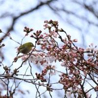 ★桜便り・・・しだれ桜が満開です@府中東郷寺