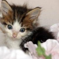 宮城県・仙台市内で子猫をお探しなら/ペットショップ東北/メインクーン多数販売中!/塩釜市/多賀城市