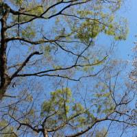 欅芽吹きと山桜花