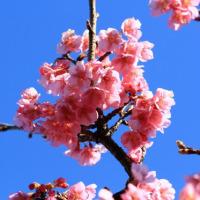 超早咲きの河津桜